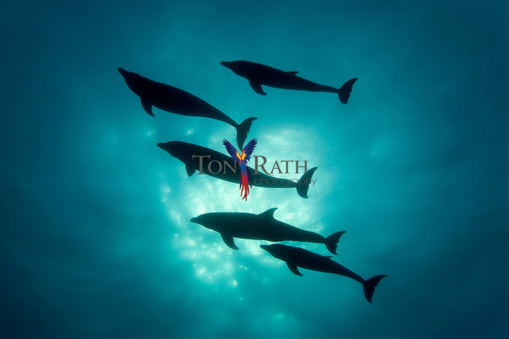Underwater silhouette of bottle nose dolphins against a sun burst taken from below in Gladden Spit and Silk Cayes Marine Reserve, off the coast of Placencia, Stann Creek, Belize