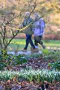 © Licensed to London News Pictures. 19/01/2014. Wisley, UK Snowdrops appearing through the bracken at RHS Wisley today 19th January 2014. Photo credit : Stephen Simpson/LNP
