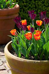 Tulipa 'Havran' and Tulipa 'Annie Schilder' growing in a terracotta pot