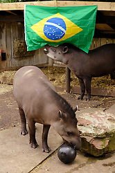 © Licensed to London News Pictures. 11/06/2014; Bristol, UK.  Animal species from Brazil at Bristol Zoo get ready for the World Cup 2014 hosted by Brazil.  Two Brazilian tapirs play with a football containing treats to eat.  The Zoo's tapirs can be found in the Zona Brazil exhibit.  Brazilian tapirs are listed as Vulnerable on the International Union for Conservation of Nature (IUCN) list. Bristol Zoo is involved in an ex-situ tapir conservation breeding programme.  <br /> Photo credit: Simon Chapman/LNP