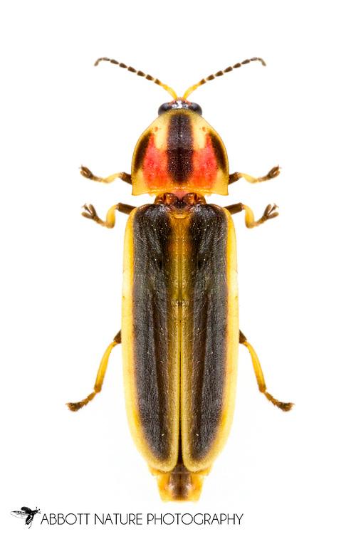 Firefly (Pyractomena sp.)<br /> United States: Alabama: Tuscaloosa Co.<br /> Tulip Tree Springs off Echola Rd.; Elrod<br /> 29-Jul-2017<br /> J.C. Abbott #2968
