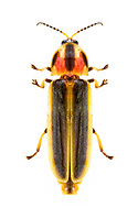 Firefly (Pyractomena sp.)<br /> United States: Alabama: Tuscaloosa Co.<br /> Tulip Tree Springs off Echola Rd.; Elrod<br /> 29-Jul-2017<br /> J.C. Abbott #2968