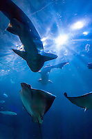 Sharks and manta rays, Aquarium of the Bay, Fisherman's Wharf, San Francisco, California USA