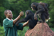 Chimpanzee<br /> Pan troglodytes<br /> Bruce Ainebyona (Caretaker) playing with rescued chimpanzee(s)<br /> Ngamba Island Chimpanzee Sanctuary<br /> *Model release available - release # MR_011