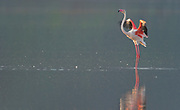 Lonely greater flamingo at Lake Bogoria, Kenya.