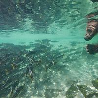 USA, Alaska, Katmai National Park, Underwater Grizzly Bear (Ursus arctos) fishing for spawning salmon near Kuliak Bay