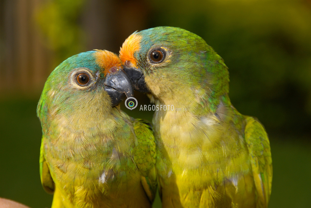 A jandaia-coquinho (Aratinga aurea) eh uma especie de ave da familia Psittacidae. / The Peach-fronted Parakeet (Aratinga aurea), more commonly known as the Peach-fronted Conure in aviculture, is a species of parrot in the Psittacidae family.