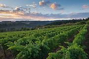 Raptor Ridge winery and estate vineyard, Chehalem Mountains ava, Willamette Valley, Oregon