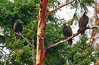 Three turkey vultures (Cathartes aura) perched in Arbutus tree, Gabriola, BC, Canada. Photo: Peter Llewellyn