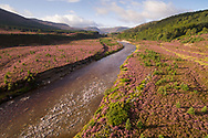 Regenerating Scots pines amidst flowering heather along the River Feshie in the Cairngorms National Park, Scotland.