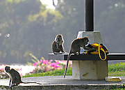 SINGAPORE- MACRITCHIE RESOVOIR PARK Monkeys causing a nuisance 16/01/2010. STEPHEN SIMPSON...
