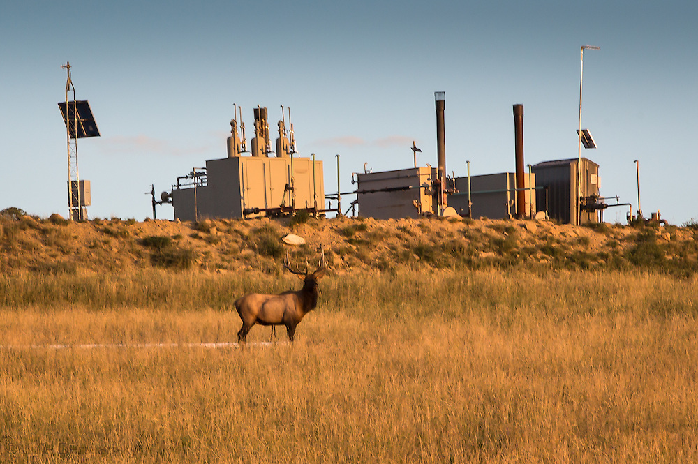 Wild stag in Garfield County Colorado sharing land with the fracking industry