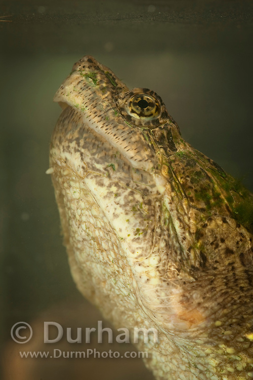 A common snapping turtle (Chelydra serpentina) photographed underwater. Central Texas. Temporarily captive.