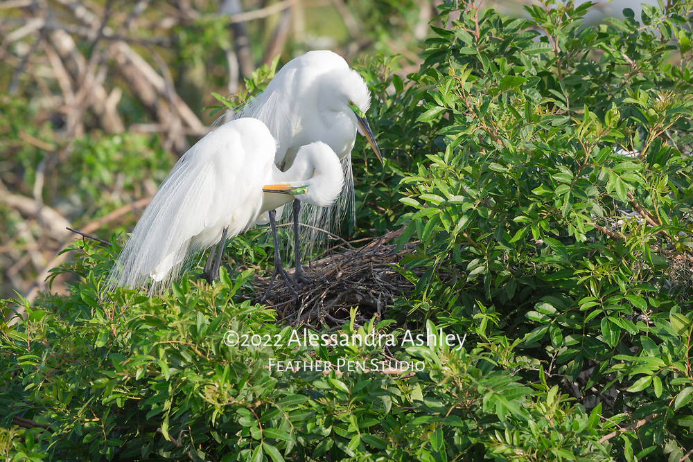 Great egret pair perched above nest, one parent peering inside while the other preens (contents of nest not visible). Both parents show delicate breeding plumage and green lores.