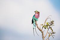 Lilac-Breasted Roller, Kruger National Park, Limpopo, South Africa