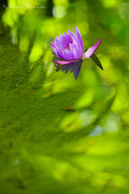 Lotus flower on reflecting pond / it002