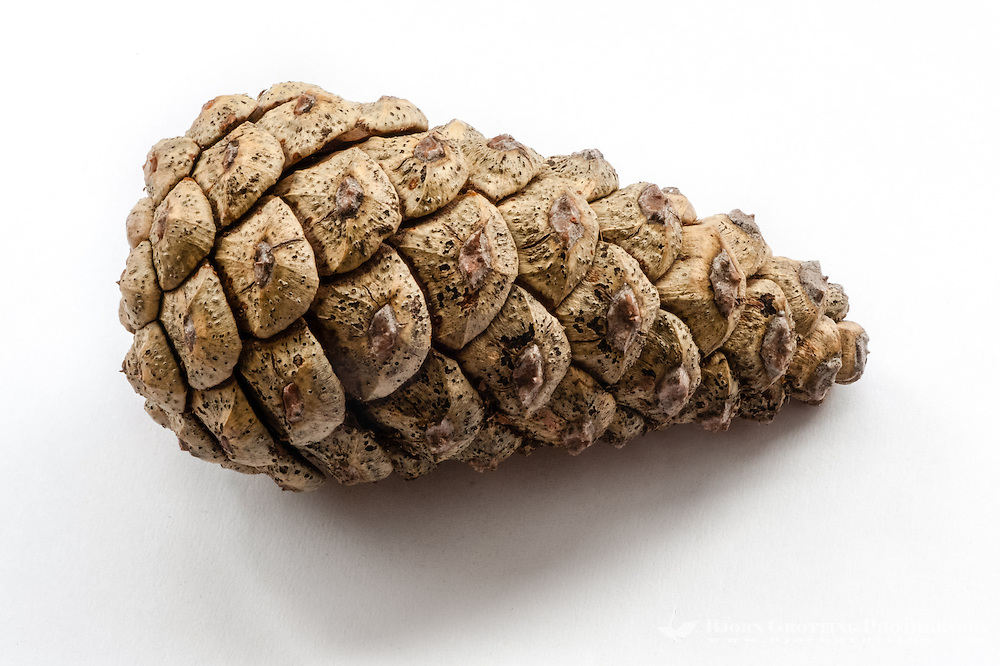 Close up of a pine cone