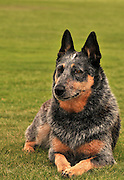 A female Australian Cattle Dog, or Queensland Blue Heeler, who is hearing impaired, at a park in Tucson, Arizona, USA.