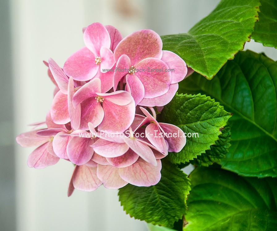 flowering Pink Hortensia flower