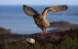 Eurasian Eagle-owl in Norway