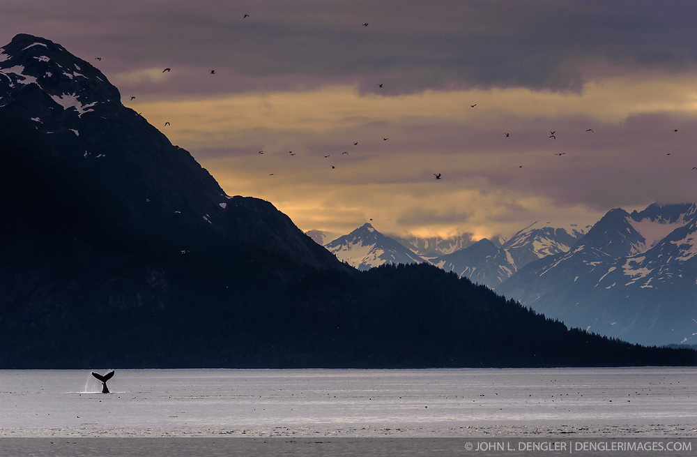 "A humpback whale engages in ""tail slapping"" in the Sitakaday Narrows of the main bay of Glacier Bay National Park and Preserve in this view seen from Young Island located in the Beardslee Islands of the park in southeast Alaska. In the near background is Marble Mountain and in the far background is Mt. Abdallah. It is unknown why whales engage in this behavior but speculation is that it is a way to ward off other whales or the opposite, an invitation to join a group of whales."
