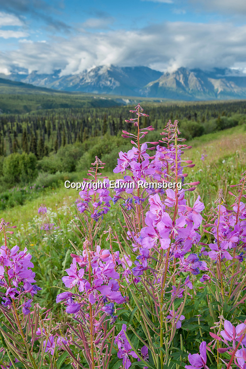 Fireweed (Epilobium angustifolium) growing with forest and mountain landscape in Alaska.