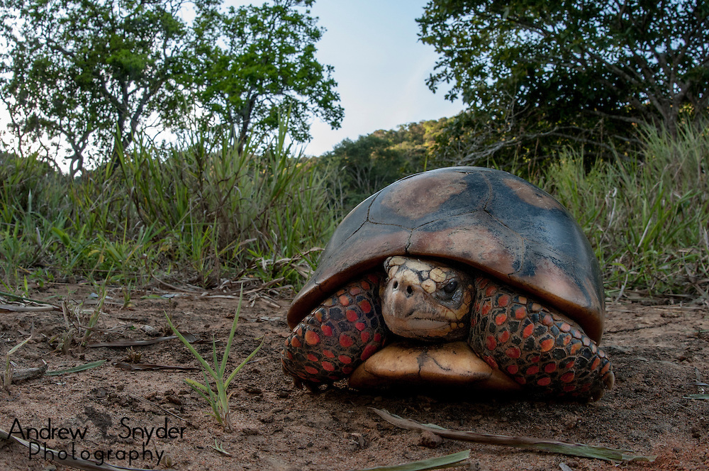 A red-footed tortoise (Chelonoidis carbonarius) from Kusad Mountain.