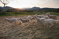 Lambs playing in the barnyard at sunset