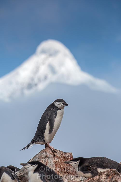 Chinstrap penguin,Pygoscelis antarcticus below a mountain peak on Half Moon Island in the South Shetland Islands, Antarctica.