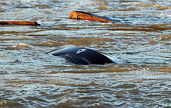 Boxing Day floods.. Just the front of the bonnet of a car can been seen after the car was washed off a road bridge by flood water from the River Medway in Kent,  Thursday, 26th December 2013. Picture by Stephen Lock / i-Images