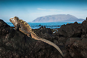 Marine Iguana (Amblyrhynchus cristatus)<br /> Base of Wolf Volcano, Isabela Islalnd, GALAPAGOS ISLANDS<br /> ECUADOR.  South America<br /> ENDEMIC TO THE ISLANDS<br /> These are the only true marine lizards in the world. Although not truely social they are highly gregarious, often spending cool nights in tight clusters. As the sun rizes they can be seen sunning themselves on the rocks to heat up before going into the sea to feed. Their black coloration helps them to absorb the sun's energy and to camourflage on the lava rocks.
