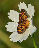 White Cosmos flower with butterfly. Image taken with a Fuji X-H1 camera and 80 mm f/2.8 OIS macro lens