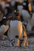 Adult Gentoo penguin sets on the nest with two chicks.