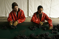 woman harvest workers separating the god grapes from the bad at Chateau Petrus, near Bordeaux.  Petrus is one of the great wines of the world, and one of the most expensive