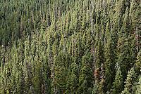 Coniferous sub alpine forest near Washington Pass in the North Cascades of Washington, USA.