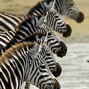 Burchell's zebra (Equus burchellii) line up for the camera in Ngorngoro National Park, Tanzania.