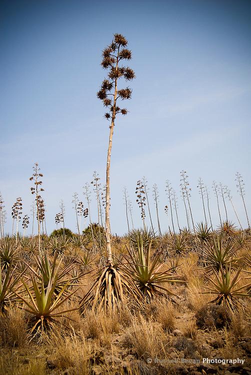 Cacti in Cabo de gata, Spain
