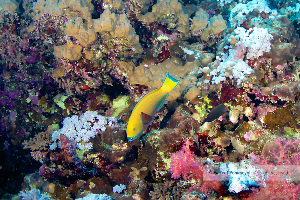 Parrotfish-Poisson-perroquet (Scaridae) of Red Sea.