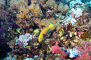 Parrotfish-Poisson-perroquet (Scaridae) of Red Sea.