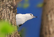A Very Cute And Tiny Bird Stretching It's Neck High Up In A Tree, The White Breasted Nuthatch In A Typically Humorous Pose, Sitta carolinensis