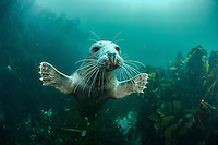 A harbor or common seal (Phoca vitulina) reaches out as if surprised by the camera. The Farne islands, Northumberland, UK provide world-class interactions with these amazing animals.