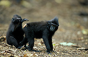 Young Celebes / Black / Sulawesi crested macaque {Macaca nigra} mutual grooming. Sulawesi, Indonesia