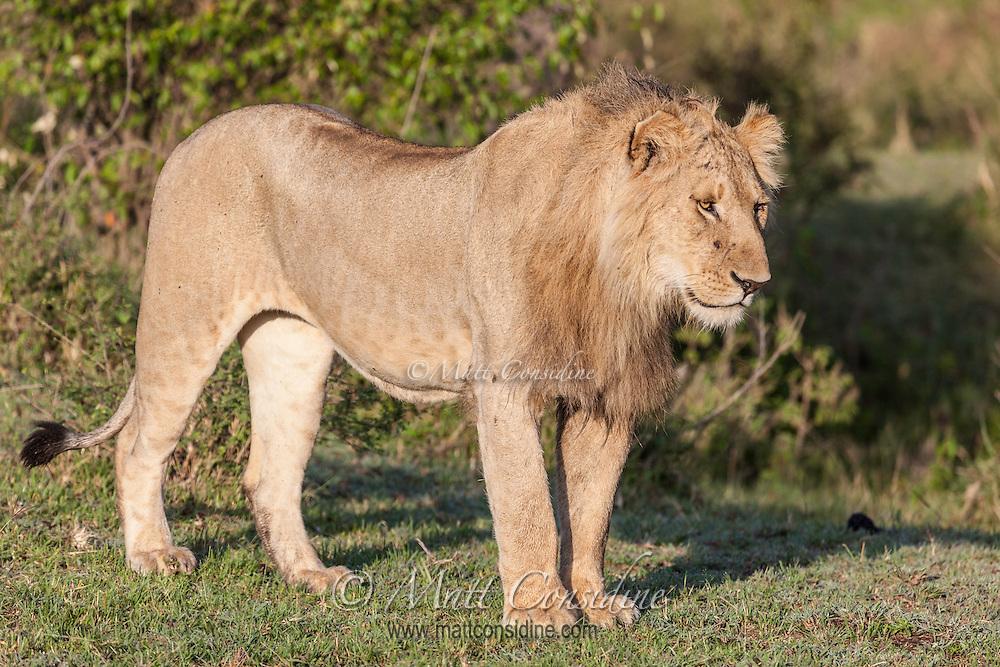 Young male lion standing in morning sun on short grass, Mara, Kenya, Africa (photo by Wildlife Photographer Matt Considine)