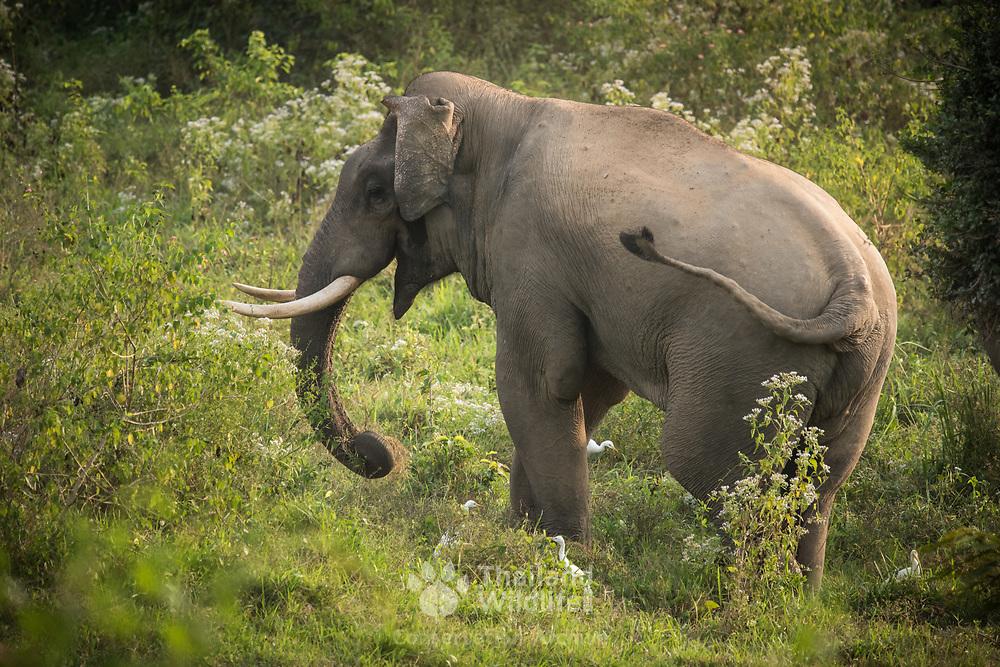 Asian Elephant (Elephas maximus) in Kui Buri national park, Thailand