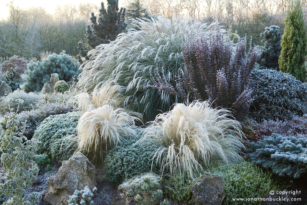 Frost on the contrasting forms of grasses and conifers on the rock garden in winter. Planting includes Stipa tenuissima, miscanthus, hebe, rhododendron. Design: John Massey, Ashwood Nurseries