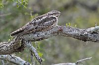 Lesser Nighthawk, Chordeiles acutipennis <br /> Photographer: Robert Rommel<br /> Ranch: Sick Dog Ranch - Mitchell &amp; Dianne Dale, Michael Dale<br /> Jim Wells County