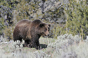 Grizzly Bear, Yellowstone National Park, Wyoming