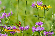 Butterflys and wildflowers: fritillary butterflys feeding on horsemint blossoms, with black-eyed susan blossoms nearby, mountain meadow, Jemez Mountains, NM. © 2010 David A. Ponton