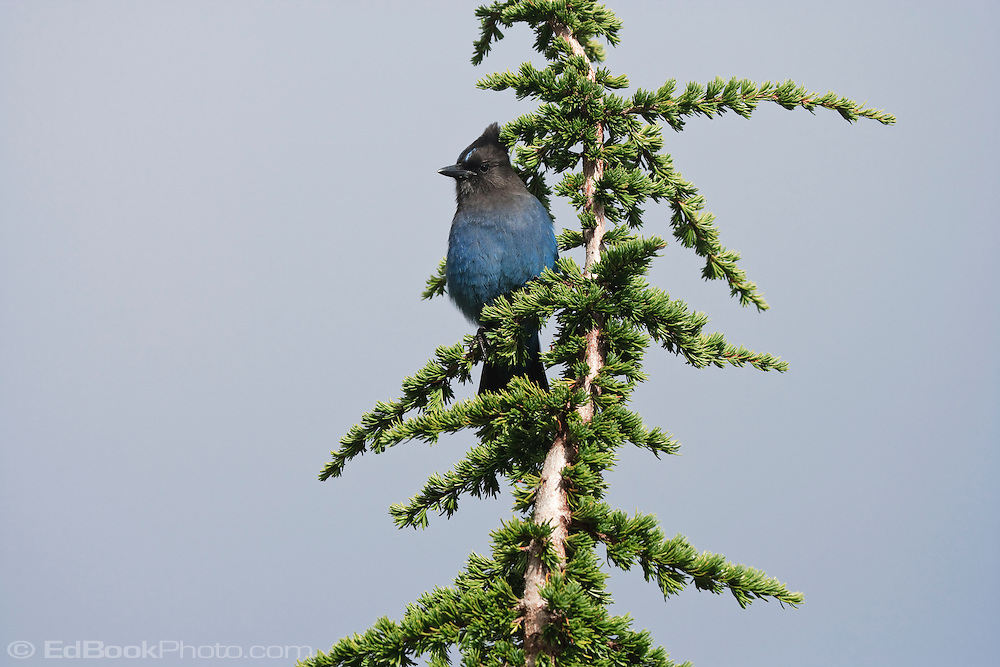 Steller's Jay (Cyanocitta stelleri) in a Mountain Hemlock (Tsuga mertensiana) Mount Rainier National Park, Washington, USA
