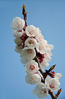 Switzerland. Springtime. A close look at gorgeous apricot blossom.